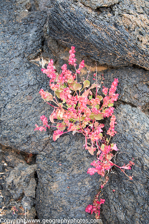 Rumex vesicarius, bladder dock,  plant growing in lava field, Tahiche, Lanzarote, Canary Islands, Spain