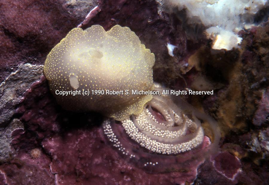 White Atlantic Cadlina Nudibranch laying eggs