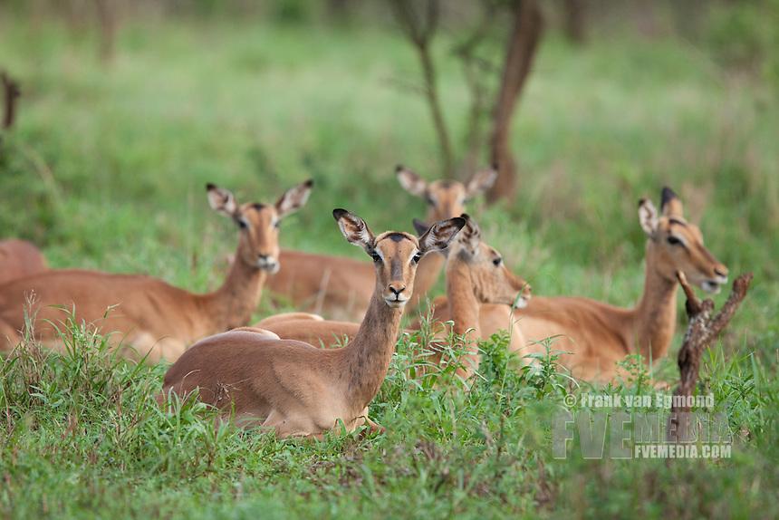 Impala ((Aepyceros melampus ) herd resting..Mkhuze Game Reserve, Kwazulu-Natal, South Africa..November 2010.