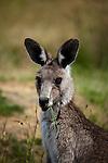 Eastern Grey Kangaroo, feeeding on some grass at Tom Groggins, Mount Kosciuszko National Park