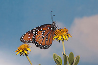 Queen Butterfly (Danaus gilippus), adult feeding on flower, Sinton, Coastel Bend, Texas, USA