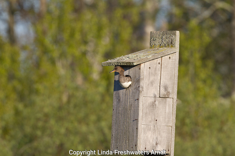 Hooded merganser and artificial nesting cavity