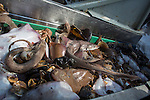 Catch from a Dutch fishing vessel on the North Sea