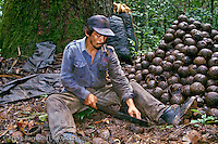 Castañero, Brazil nut harvester, opening Brazil nut pod with machete, lowland tropical rainforest, Madre de Dios, Peru.