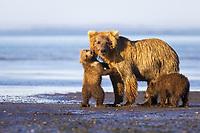 Corona licks salmon blood off of his mother's face. Kodiak grizzly bear (Ursus arctos middendorffi), Hallo Bay