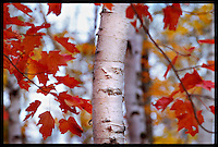 MAPLE LEAVES IN FALL COLOR  IN THE WHITE BIRCH FOREST OF THE PICTURED ROCKS NATIONAL LAKESHORE NEAR GRAND MARAIS, MICHIGAN.