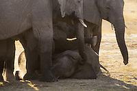 Playful young elephants amongst the herd.