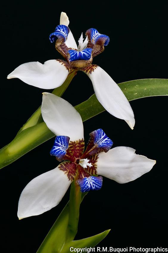Walking Iris bloom