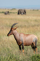 Topi, Damaliscus lunatus jimela, in Maasai Mara National Reserve, Kenya. An adult and calf African Elephant, Loxodonta africana, pass by in the background.
