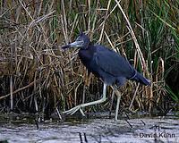 0203-08ww  Little Blue Heron,  Egretta caerulea © David Kuhn/Dwight Kuhn Photography