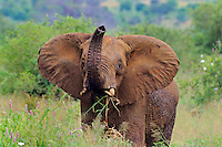 Juvenile African Elephant checking scent with trunk.