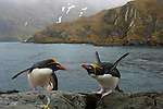 Macaroni penguins, South Georgia Island, UK