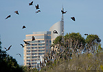 Grey-headed Flying-foxes (Pteropus poliocephalus), in flight and roosting in tree, with city building in background, Sydney Royal Botanic Gardens, Sydney, Australia
