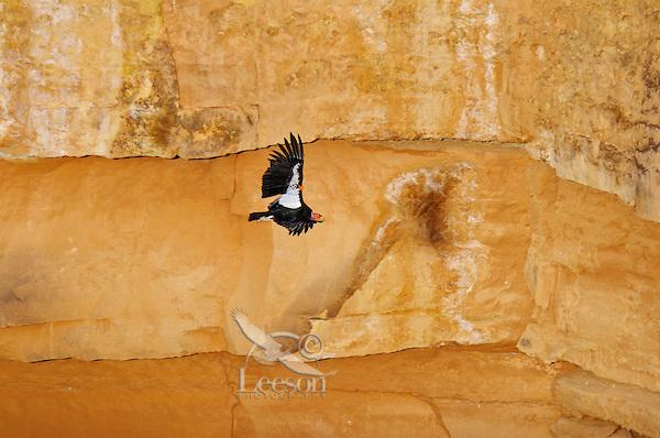 California Condor (Gymnogyps californianus) flying along canyon walls Marble Canyon (Colorado River), Grand Canyon National Park, Arizona.