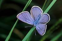 Rotklee-Bläuling, Rotkleebläuling, Violetter Waldbläuling, Polyommatus semiargus, Cyaniris semiargus, Mazarine blue, L'Azuré des anthyllides, Demi-argus, Bläulinge, Lycaenidae, blues