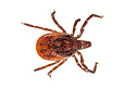 Sheep Tick (Ixodes ricinus) photographed on a white background in mobile field studio. Devon, UK. May.