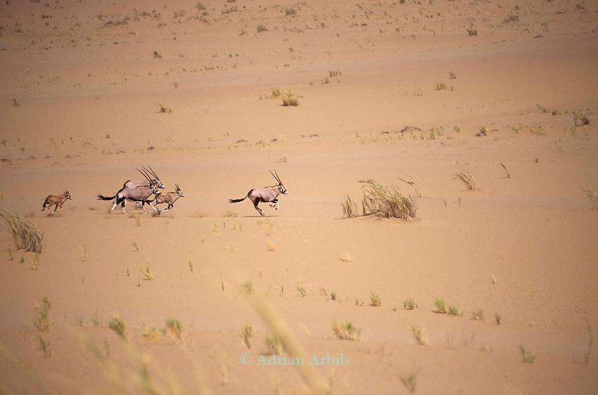 family of Gemsbok  (Oryx Gazella Gazzellan) in the Namib Naukluft desert ...