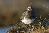 Black Turnstone (Arenaria melanocephala) in coastal sedge meadow. Yukon Delta National Wildlife Refuge, Alaska. June.