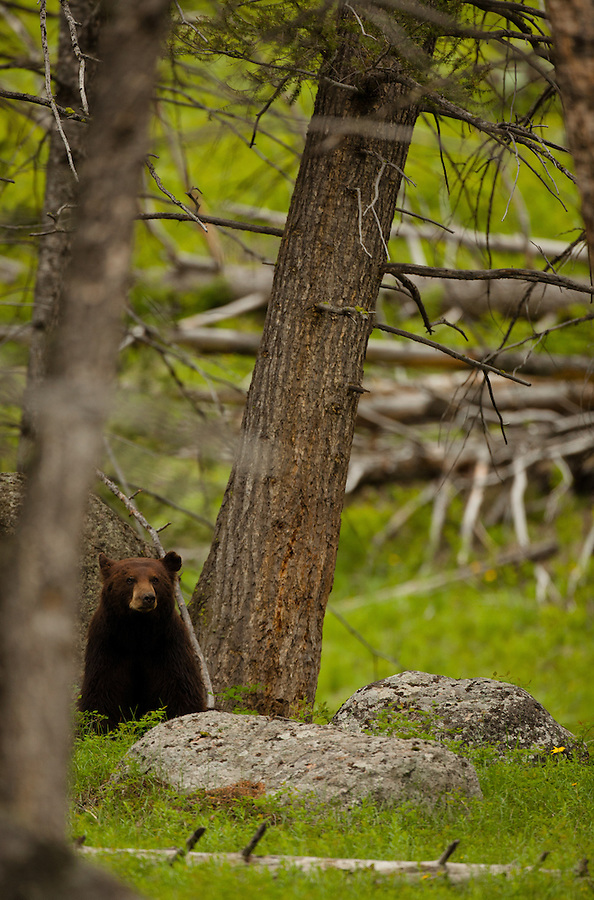 This grizzly bear stands up and looks around from the cozy spot underneath the tree he was sleeping under.