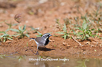 01555-002.01 Black-throated Sparrow (Amphispiza bilineata) at water Starr Co. TX