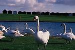 A752Y1 Swans Clacton Essex England