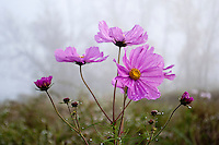 Pink cosmos bloom in a field of flowers planted on the shores of fog shrouded Hoover Reservoir on a Sunday morning.