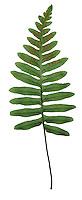 Common Polypody - Polypodium vulgare