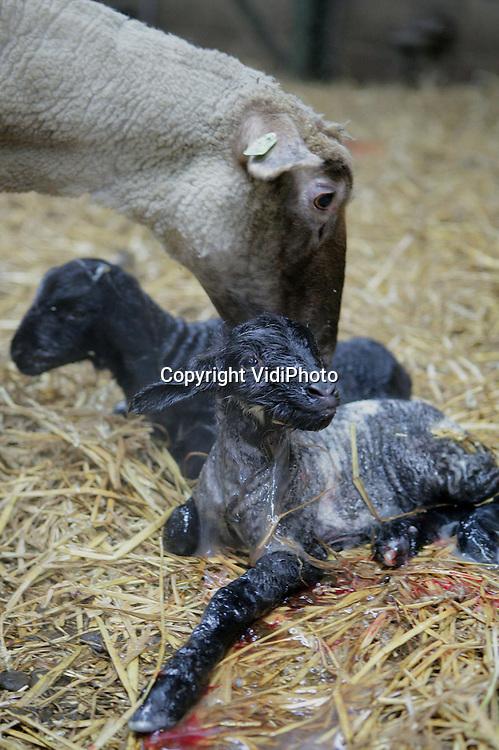 Foto: VidiPhoto..NUENEN - Terwijl het in heel Nederland nog volop winter is, is in het Brabantse Nuenen de lente al aangebroken. Op de schapenhouderij van Rob Adriaans zijn inmiddels zo'n 100 lammetjes geboren, waaronder opmerkelijk veel meerlingen; veel meer dan andere jaren. Oorzaak is volgens Adriaans vermoedelijk de enorme grasgroei van het afgelopen jaar naast de extra aandacht voor de gezondheid van de schapen. De lammetjes van het eigen gefokte Gulbergen ras, zijn allemaal bestemd voor consumptie. Adriaans levert zijn exclusieve lamsvlees aan de Nederlandse toprestaurants tijdens Pasen en Pinksteren. Foto: Vers van de pers.