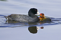 American Coot feed some chicks