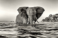Bull elephant wading through the Chobe River