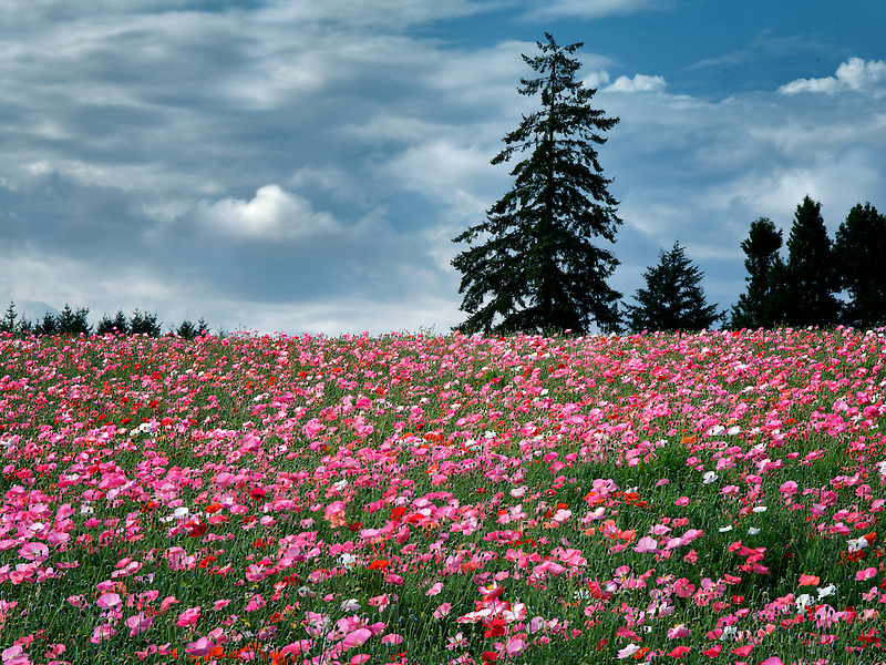 Poppy field grown for seed. Neafr Silverton, Oregon
