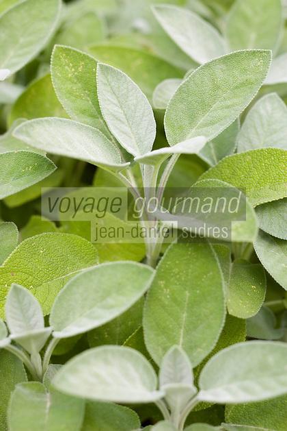 Europe/France/Bretagne/35/Ille et Vilaine/Bonnemain: Sauge verte dans le Jardin de Nadia  Romé à la Ferme des  Portes (herbes aromatiques,mesclun, légumes rares, volailles)