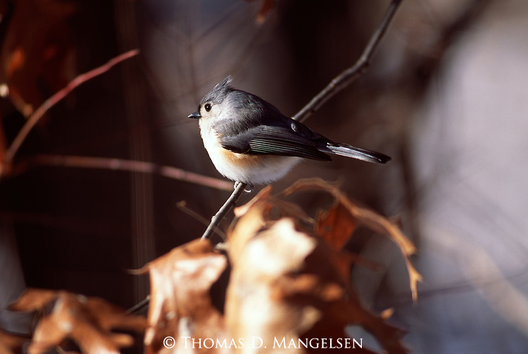 Tufted Titmouse perched on an oak branch.
