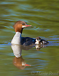 Common Merganser (Mergus merganser) adult female swimming with duckling, Lansing, New York, USA.