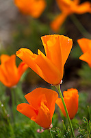 California poppy (Eschscholzia californica) orange spring wildflower, East Bay Regional Park Botanic Garden, California native plant