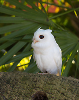 """While Eastern Screech Owls appear in various color forms including brown, Gray and red, white owls are likely leucistic.  """"Leucism"""" is a condition in which there is a partial loss of pigmentation in an animal resulting in white, pale or patchy coloration of the feathers, hair, scales etc, but not of the eyes. An albino has no pigmentation and will appear completely white except for their eyes, legs, feet and bill which may appear pink. (captive bird)"""