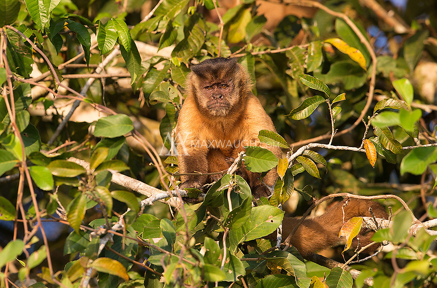 The most common monkey species seen in the Pantanal was the bearded, or black-striped capuchin, which is often mistaken for the brown or tufted capuchin but is thought to be a distinct species.