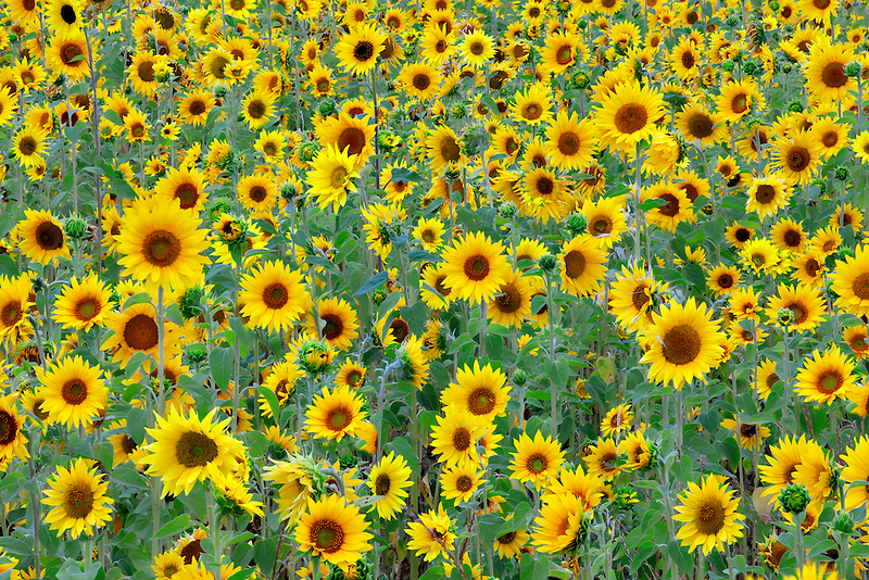 Filed of sunflowers. Near Sherwood, Oregon