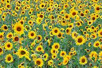 Filed of sunflowers. Near Sherwood, Oregon