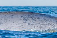 blue whale, Balaenoptera musculus, skin detail, endangered species, San Diego, California, USA, Pacific Ocean
