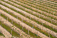 A graphic vineyard with rows of vines pruned in Cordon Royat with ever second row having grass and every other is the very stony pebbly soil. The Hermitage vineyards on the hill behind the city Tain-l'Hermitage, on the steep sloping hill, stone terraced. Sometimes spelled Ermitage. Tain l'Hermitage, Drome, Drôme, France, Europe