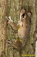 0201-0901  Cuban Treefrog (Cuban Tree Frog) on Tree, Osteopilus septentrionalis  © David Kuhn/Dwight Kuhn Photography.