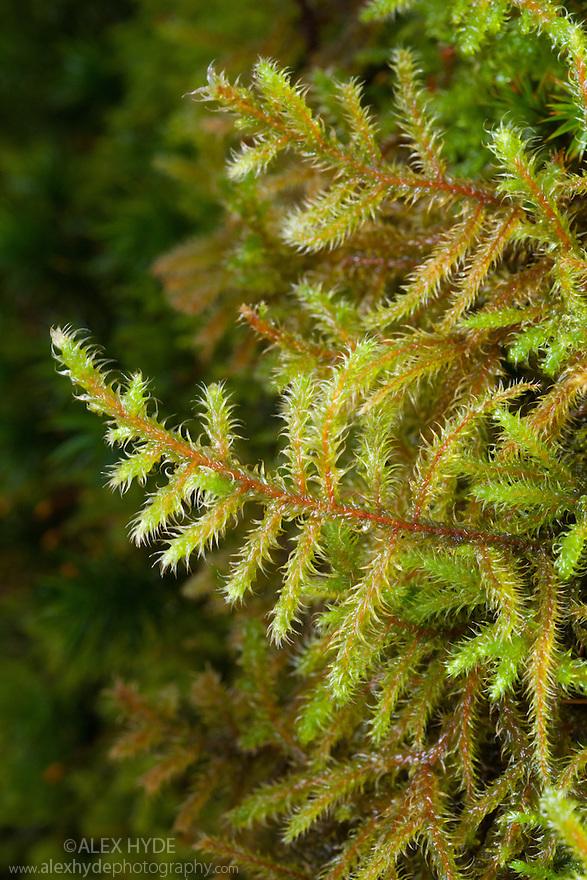 Red-stemmed Feather-moss {Pleurozium schreberi} Lake District National Park, Cumbria, UK. February.