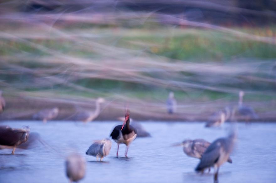 Mission: Black Storks River Elbe Germany; Biosphärenreservat Niedersächsische Elbtalaue; Biosphere Reserve Middle Elbe; Graureiher; Grey Heron; Ardea cinerea; Gulls; Möwen; Schwarzstorch; Black Stork; Ciconia nigra