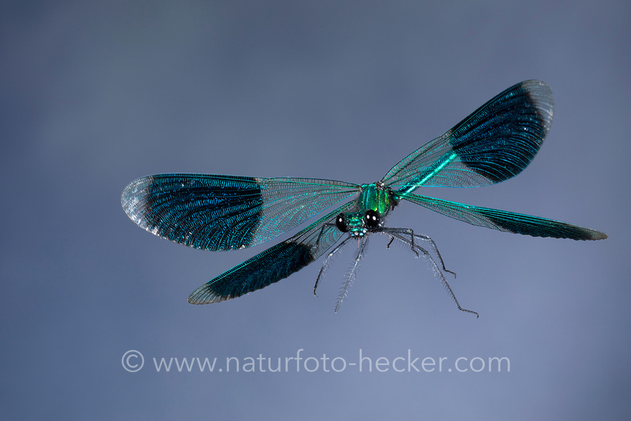 Gebänderte Prachtlibelle, Flug, fliegend, Prachtlibelle, Prachtlibellen, Pracht-Libelle, Männchen, Calopteryx splendens, Agrion splendens, banded blackwings, banded agrion, banded demoiselle, male, flight, flying, le caloptéryx éclatant, le caloptéryx splendide
