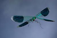 Gebänderte Prachtlibelle, Flug, fliegend, Prachtlibelle, Prachtlibellen, Pracht-Libelle, Männchen, Calopteryx splendens, Agrion splendens, banded blackwings, banded agrion, banded demoiselle, male, flight, flying, le caloptéryx éclatant, le caloptéryx splendide