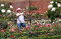 "12/07/2012..Hopton Hall owner, Julie Thomas, dead-heading roses...Staff at a stately home take advantage of a sunny break in the weather to dead-head roses for the first time this year. Blooming a month later than usual, the roses at Hopton Hall, near Ashbourne have taken a battering from weeks of rain and poor weather...Estate Manager, Spencer Tallis said: ""We would have normally started dead-heading the roses at least two weeks ago but the weather has made everything late. Many of the first buds have 'balled' - the outer petals are stuck shut and are so damp they've begun to rot on the bushes - they'll never flower. The buds can't break-out without sunlight...""This is just the first flush of flowering - they'll keep making new flowers as long as we dead-head [remove] the damp ones and the flowers that are over. ..""We need more days like this - when it's sunny they'll keep reproducing and should last well into September...""We've hardly seen any greenfly this year - which is a positive - I think the rain have stopped them too""..There are over 2,500 traditional English Tea, Floribunda and French Delbard roses growing in the old sixteenth century kitchen garden at Hopton Hall which is open to visitors until the end of August..All Rights Reserved - F Stop Press.  www.fstoppress.com. Tel: +44 (0)1335 300098.Copyrighted Image. Fees charged will reflect previously agreed terms or space rates for individual publications, states or country."