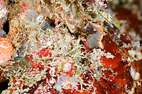 Pontoh's pygmy seahorse, or weedy pygmy seahorse, Hippocampus pontohi, Lembeh Strait, Sulawesi, Indonesia, Pacific Ocean