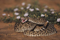Western Diamondback Rattlesnake (Crotalus atrox), adult in defense pose, Starr County, Rio Grande Valley, Texas, USA