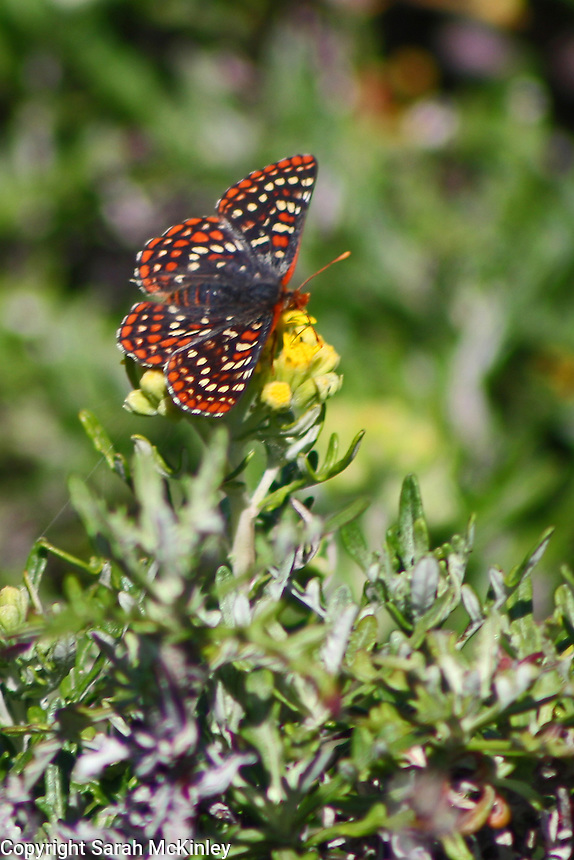 A checkerspot butterfly enjoys a meal of nectar north of Westport on Highway 1 in Mendocino County in Northern California.